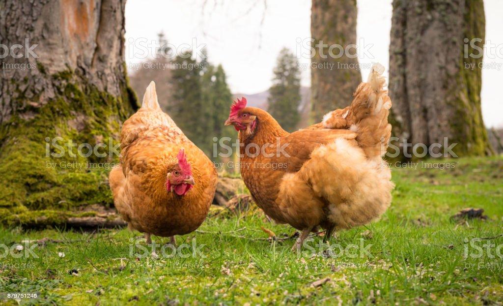 Ücretsiz gıda açık havada için yiyecek arama tavukları dolaşım stok fotoğrafı