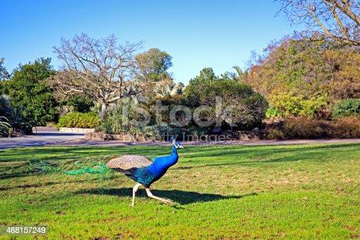 istock Free Run Peacock 468157249