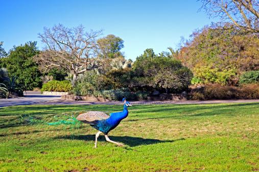 Free run peacock in park.