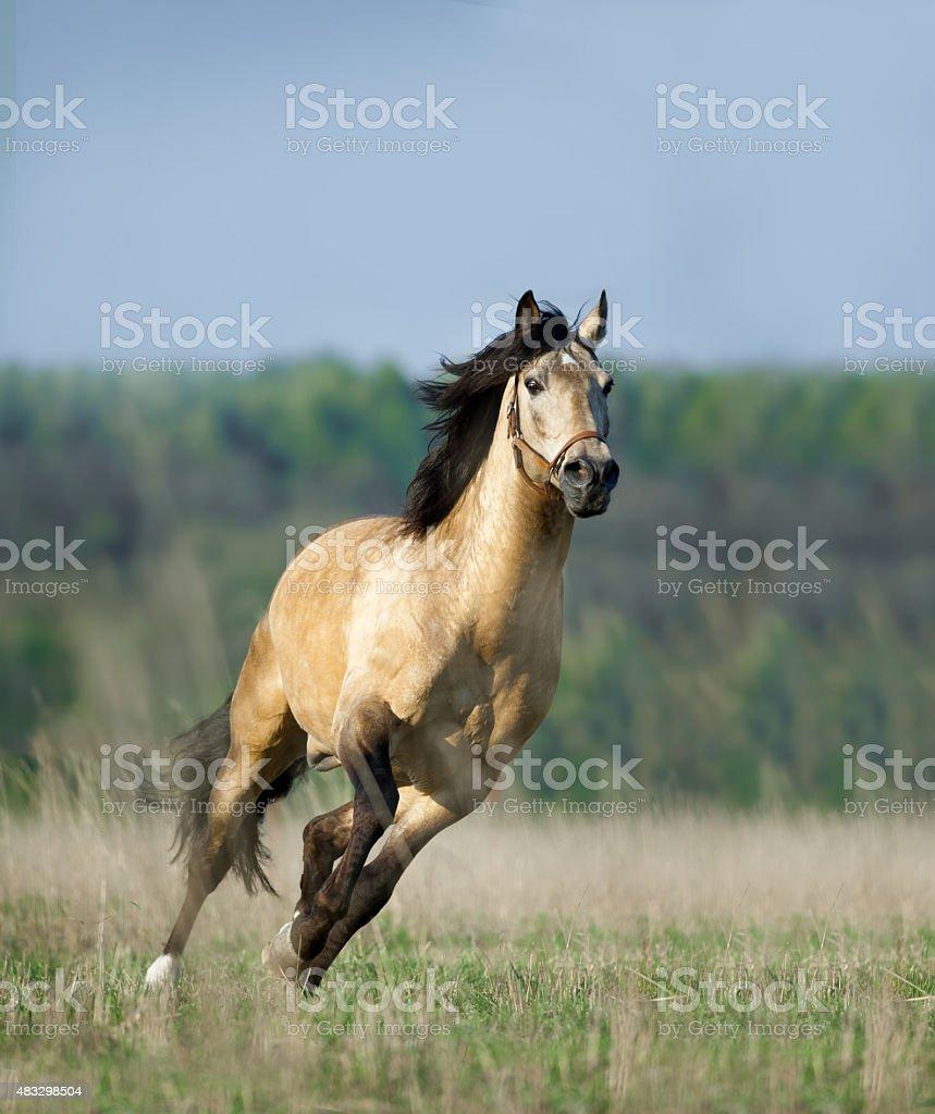 free running lusitano horse stock photo