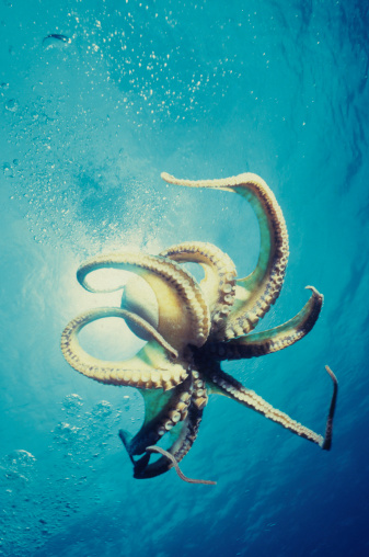 Free Swimming Octopus Stock Photo - Download Image Now
