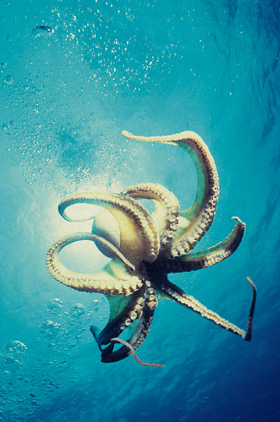 Free Swimming Octopus Tentacles propelling octopus through blue octopus photos stock pictures, royalty-free photos & images