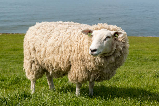 Free walking sheep at the dyke in The Netherlands in springtime stock photo