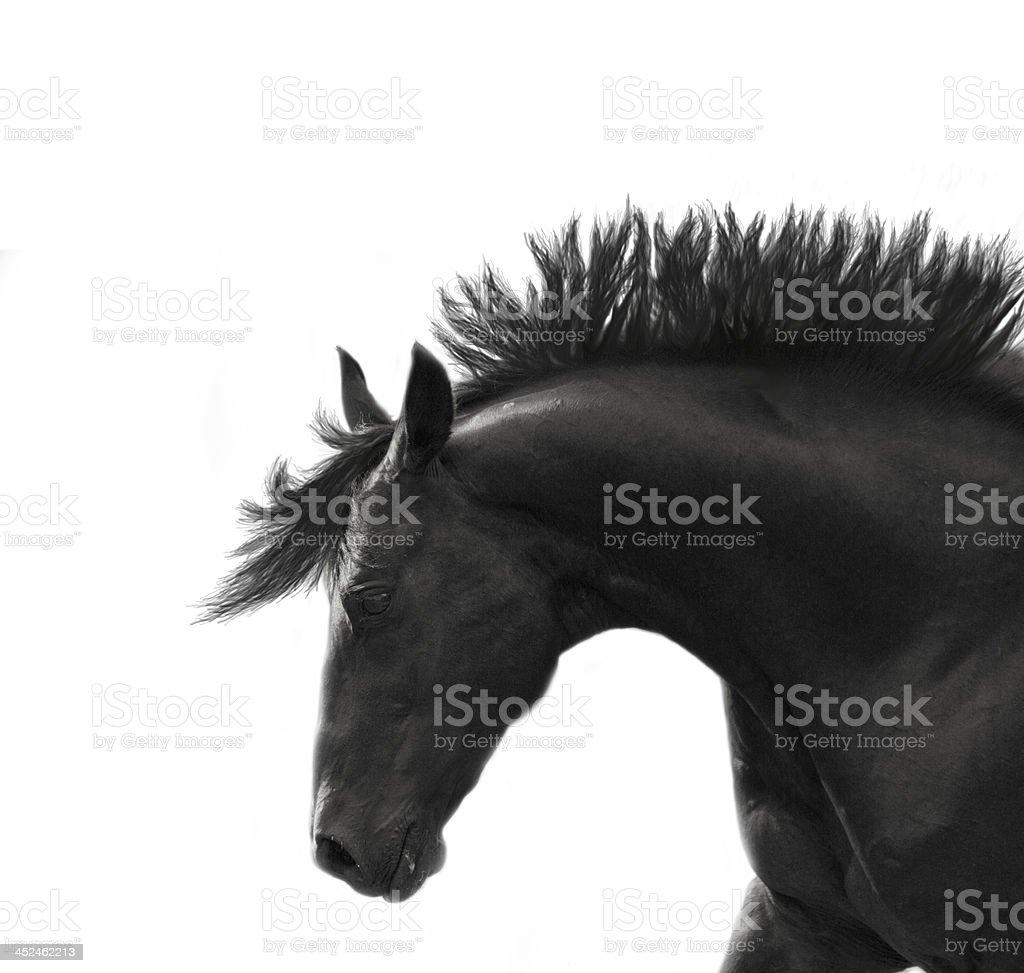 Freedom breed sportive stallion isolated on white royalty-free stock photo