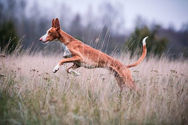Freedom Young Ibizan Hound running free on field sight hound stock pictures, royalty-free photos & images