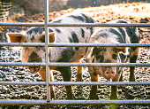 Two free range pigs at a gate in a muddy section of their field.