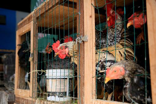 salvador, bahia, brazil - june 28, 2021: Free range chicken are seen for sale at Feira de Sao Joaquim in the city of Salvador.