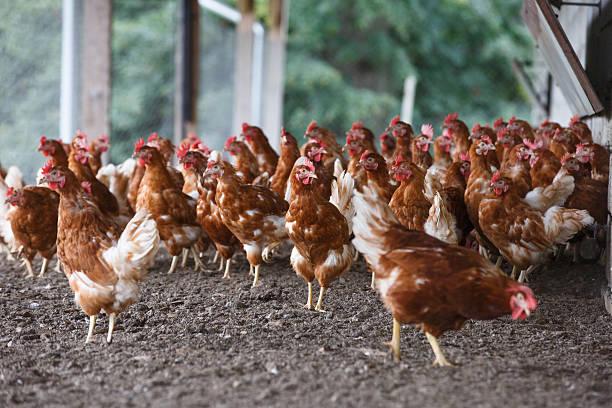 Free-range chicken freely grazing outside stock photo