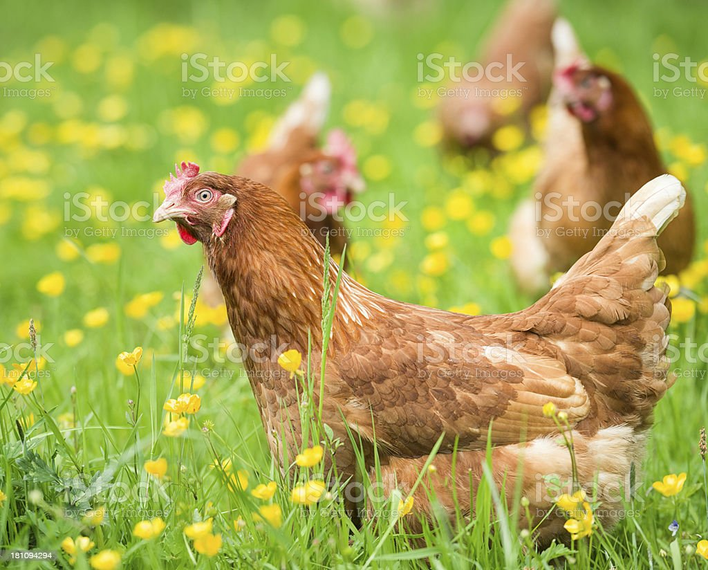 Free-range chickens in grass and buttercups royalty-free stock photo