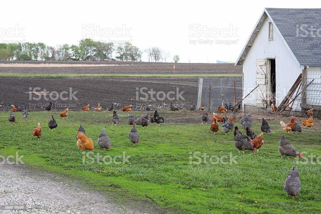 Free-Range Chickens on an Iowa Farm stock photo