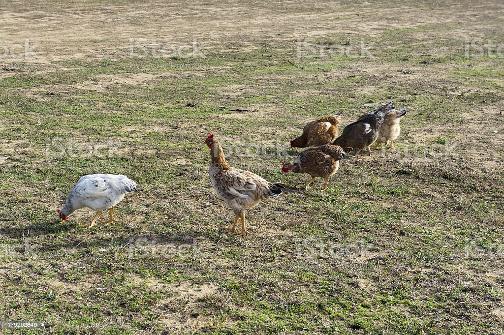 Free-range chickens royalty-free stock photo