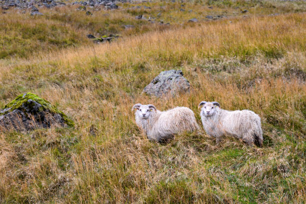 Free-range Sheep in Iceland stock photo