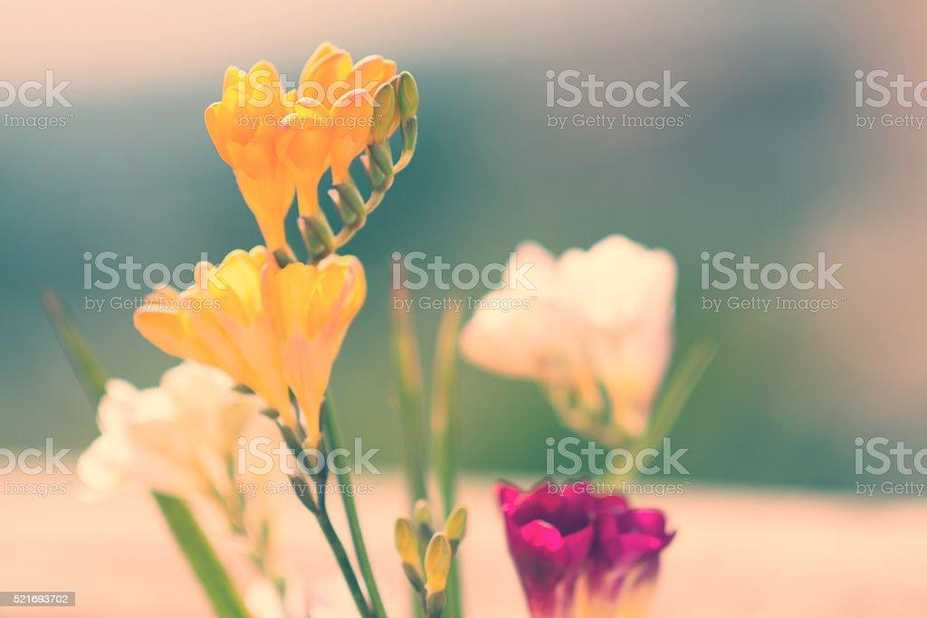 Freesia bouquet in backlit圖像檔