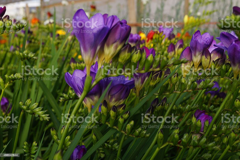 Freesia flower nursery in Mendoza, Argenina stock photo
