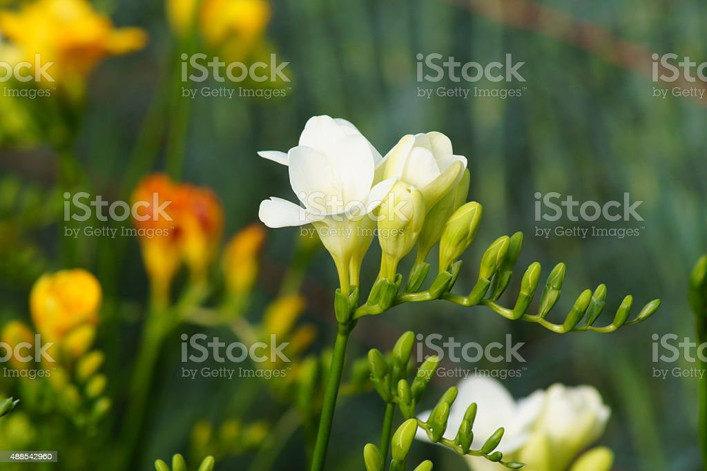 Freesia flower nursery in Mendoza, Argentina stock photo