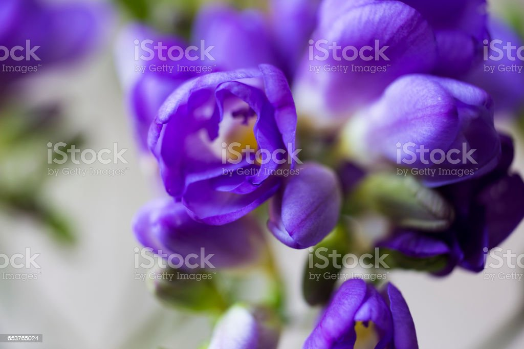 Freesia Flower圖像檔