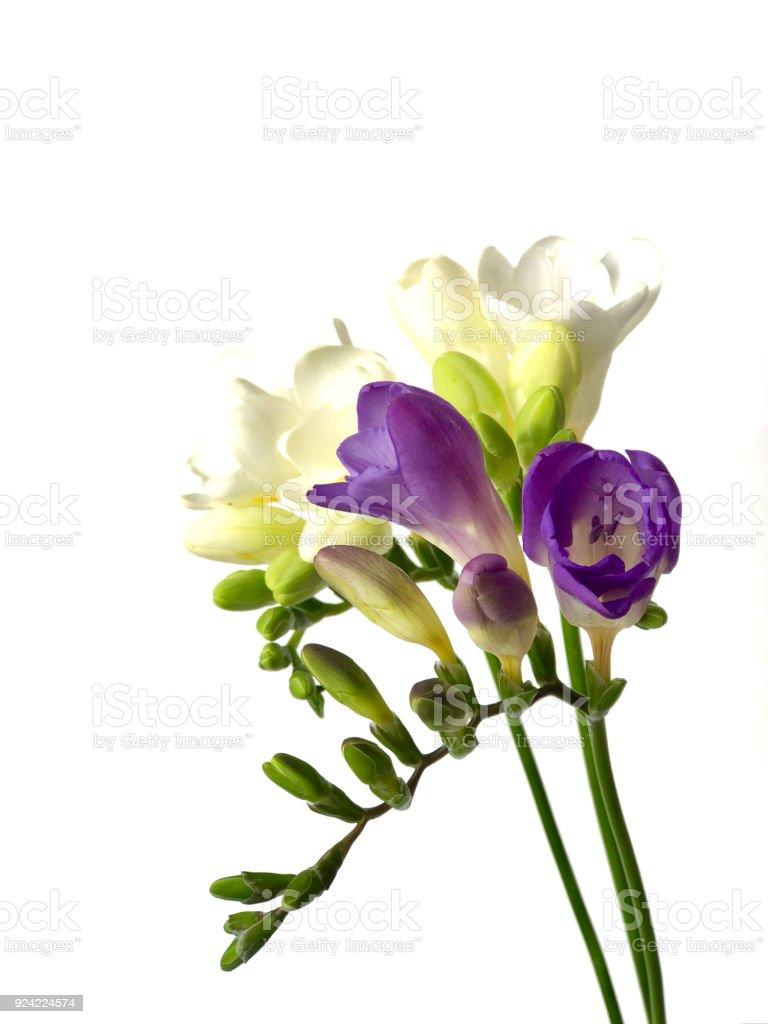小蒼蘭花之美圖像檔