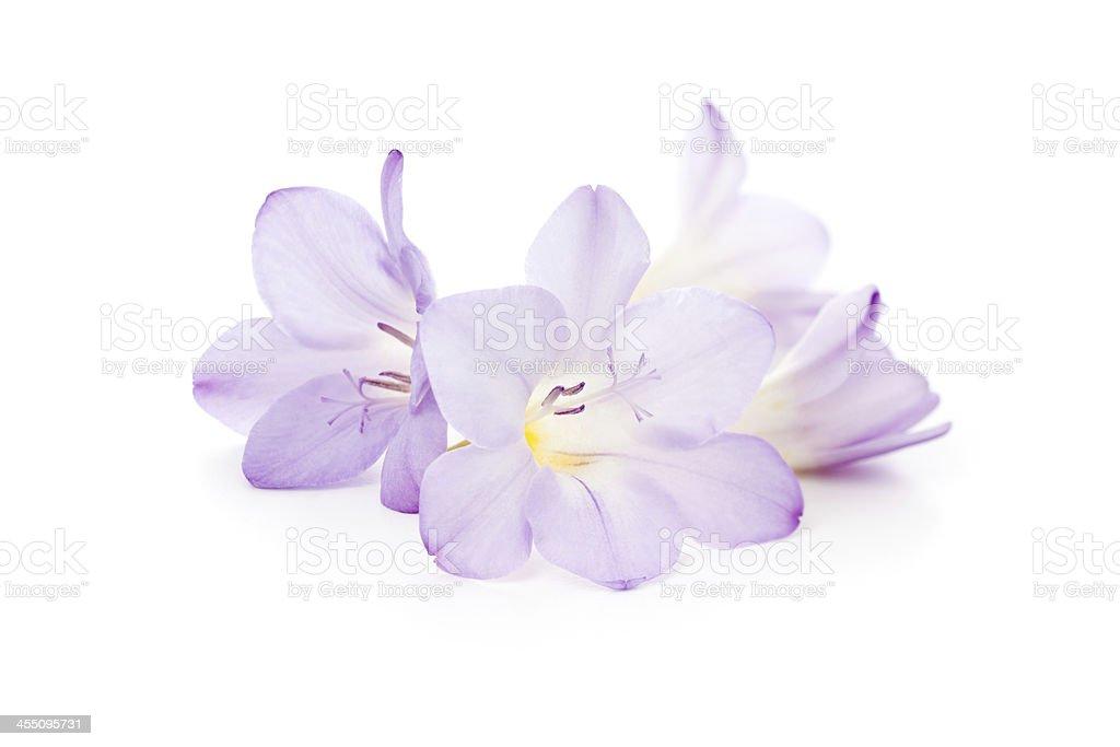 Freesia flowers isolated stock photo