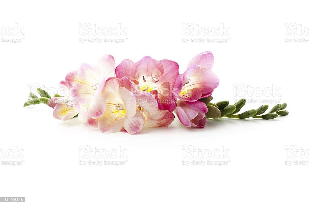 Freesia flowers laying down圖像檔