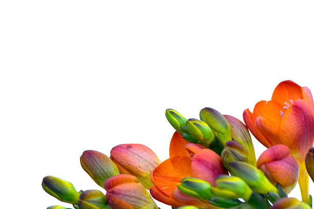 Freesia Frame stock photo