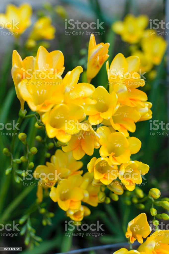 Freesia Golden Yellow flowers close up стоковое фото