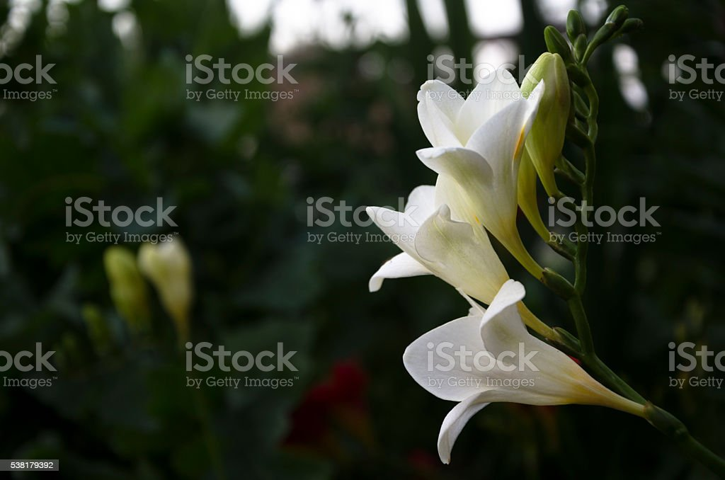 Freesias Horizontal stock photo