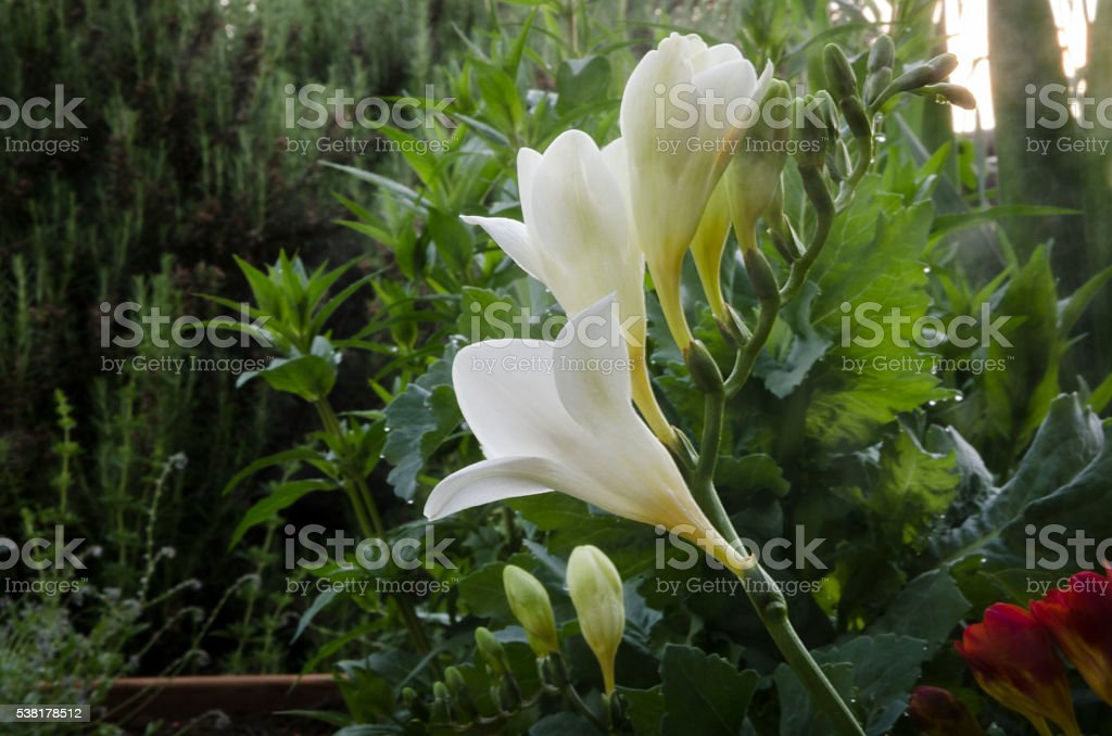 Freesias in the Garden stock photo