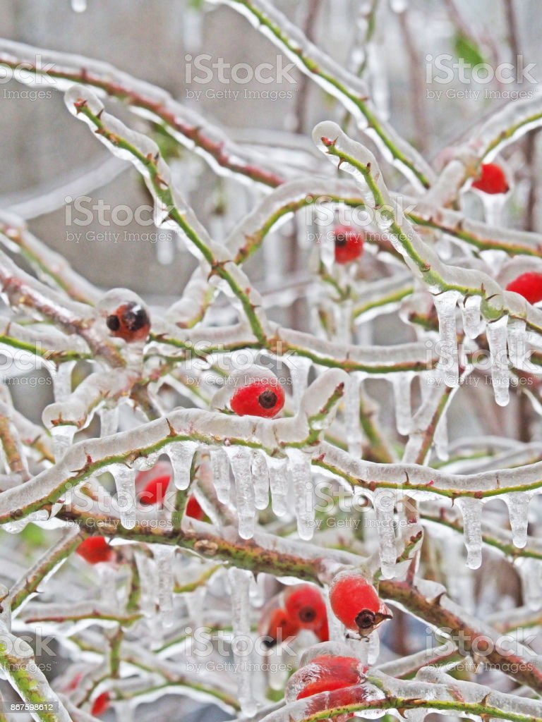 Freezing rain picturesquely frozen trees. Branches and wild rose...