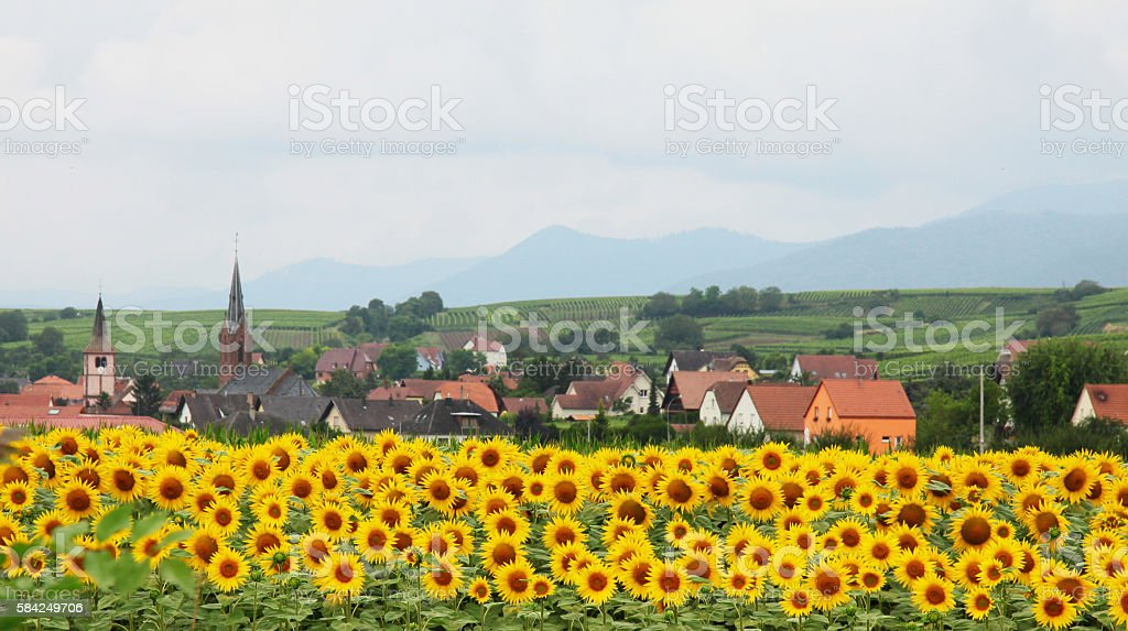 French Alsace village with sunflowers stock photo