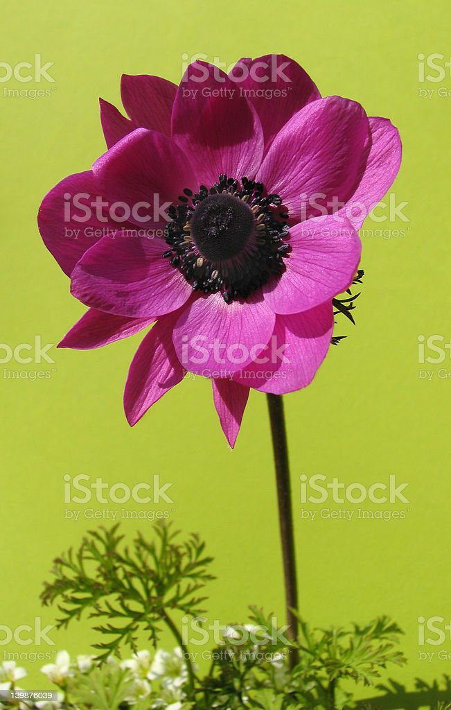 French anemone isolated on green royalty-free stock photo