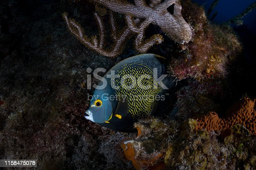 View of the French angelfish (Pomacanthus paru) and coral reef in Grand Cayman - Cayman Islands