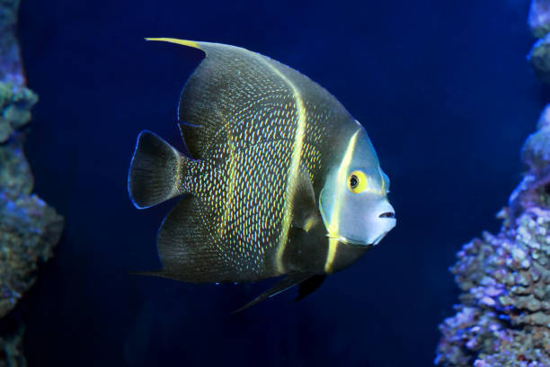 French Angelfish (Pomacanthus paru) stock photo
