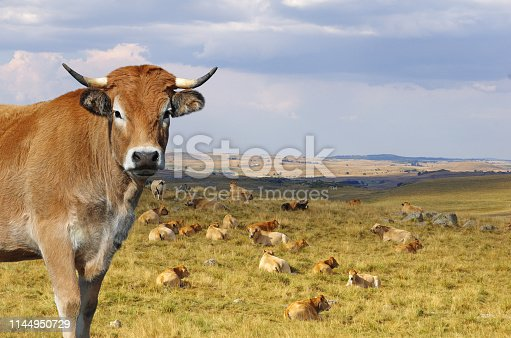 French Aubrac cow with herd in background. Auvergne, France, Europe