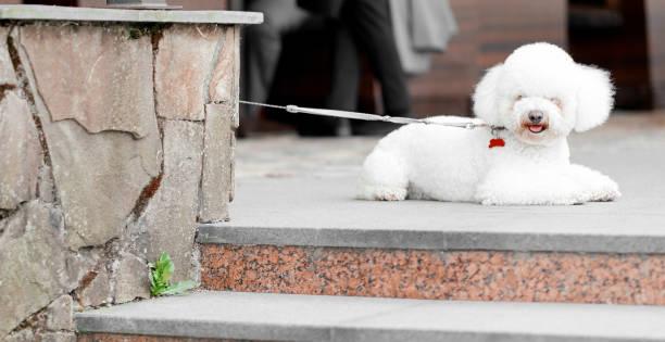 franse bologna ligt op de trappen aan de leiband en kijkt naar de fotograaf - dog looking at floor path stockfoto's en -beelden