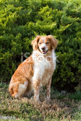 French Brittany Spaniel hunting dog sits outdoors in front of an evergreen.