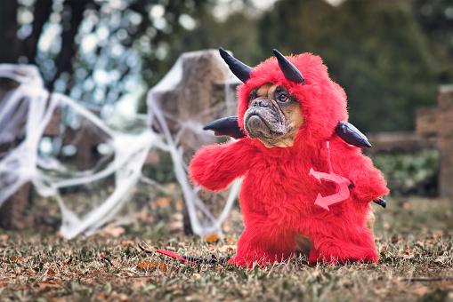 French Buldog dog wearing red Halloween devil costum with fake arms holding pitchfork, with devil tail, horns and black bat wings standing in front graveyard