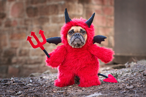 Fawn French Buldog dog with red devil costum wearing a homemade fluffy full body suit with fake arms holding pitchfork, with devil tail, horns and black bat wings standing in front of blurry wall
