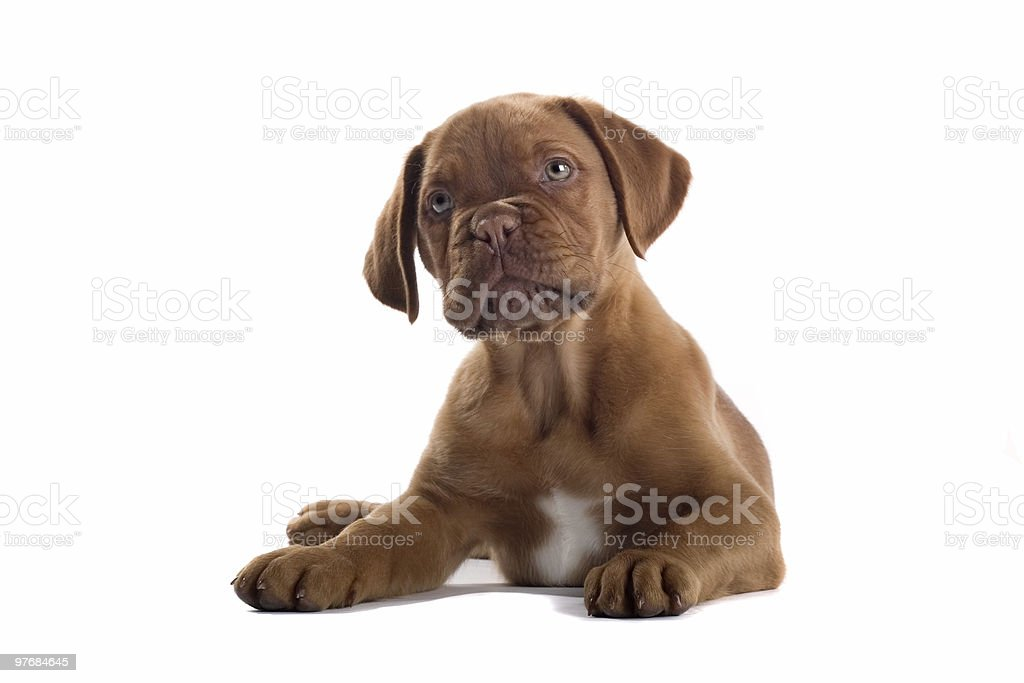 French Bull Mastiff Puppy Dog Stock Photo & More Pictures of Animal ...