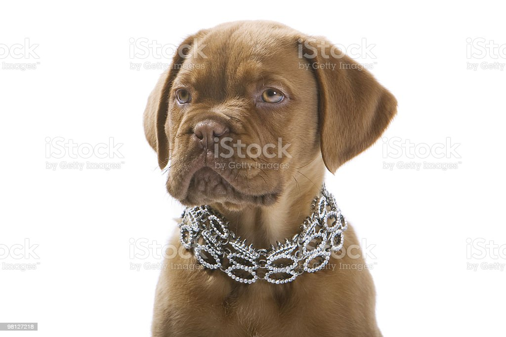 french bull mastiff puppy dog royalty-free stock photo