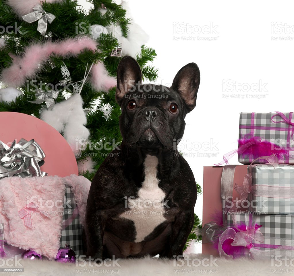 French Bulldog 1 Year Old With Christmas Tree And Gifts Stock Photo ...