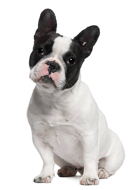 French bulldog 13 months old sitting picture id533989542?b=1&k=6&m=533989542&s=612x612&w=0&h=ohms agzrpwci3sa20kdf5nhlnf10ogtlv0arpm  4e=