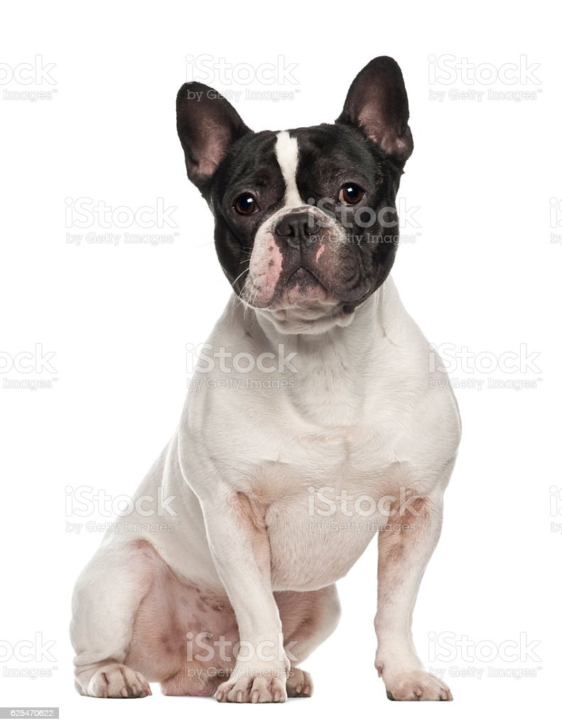 French Bulldog, 18 months old, sitting against white background stock photo