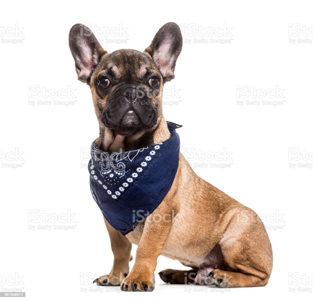 French Bulldog, 6 months old, sitting against white background stock photo