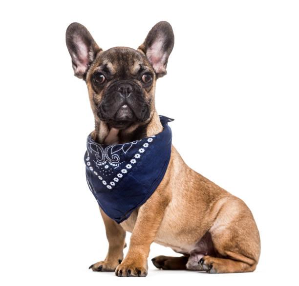 french bulldog, 6 months old, sitting against white background - lenço do pescoço imagens e fotografias de stock