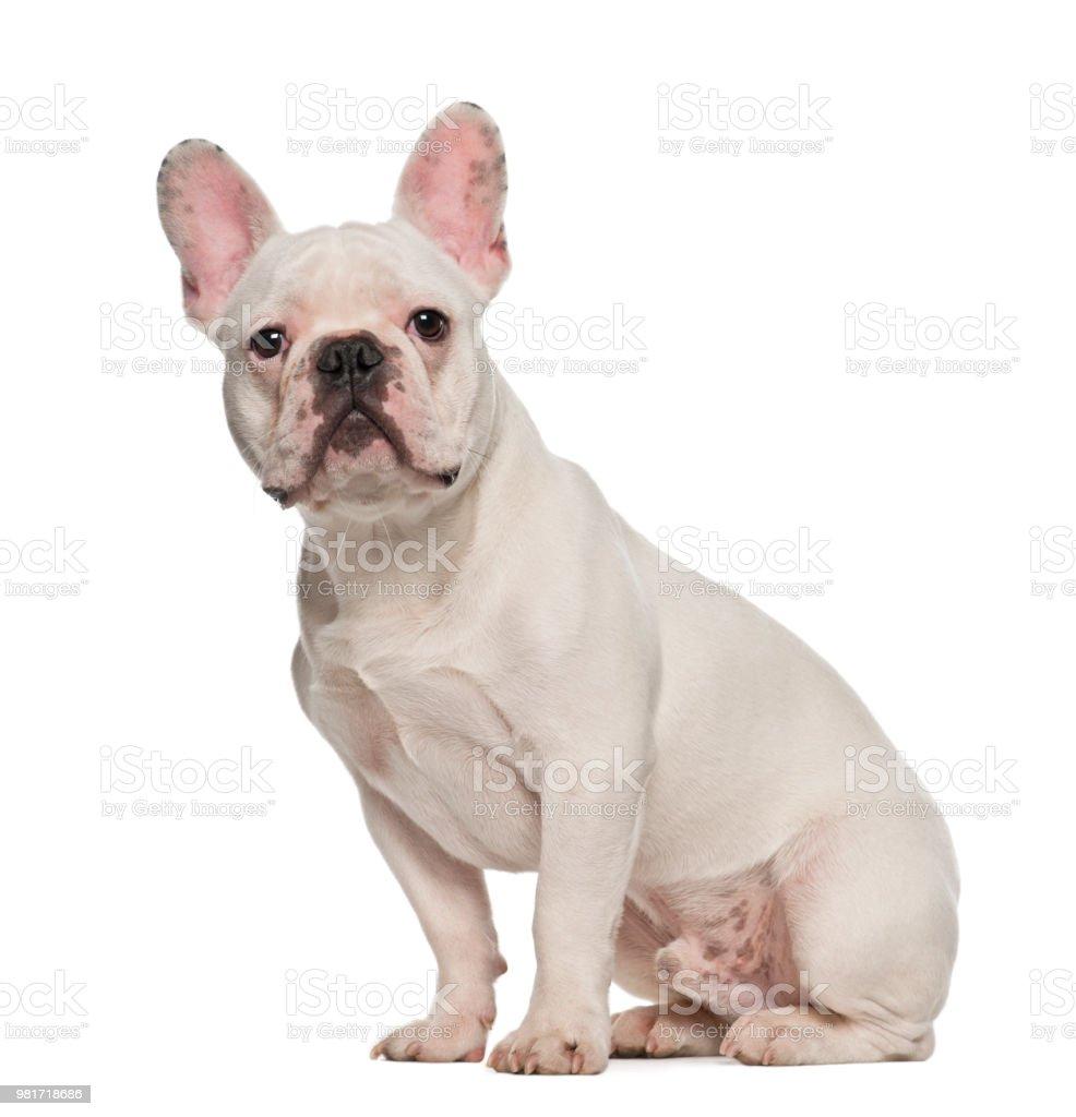 französische bulldogge 7 monate alt sitzt vor weißer
