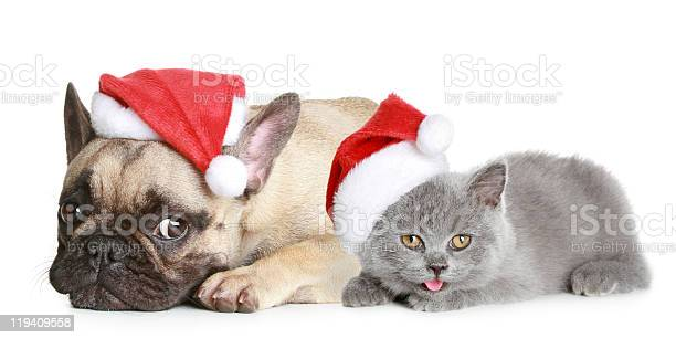 French bulldog and grey kitten lies on a white background picture id119409558?b=1&k=6&m=119409558&s=612x612&h= d3e37tzyrzv6cvc7tpcbush2if4v92wv9ivjztqtts=