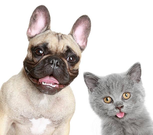 French bulldog and grey kitten picture id106526899?b=1&k=6&m=106526899&s=612x612&w=0&h=j0hpsffnr3vebqg7dybf8uvbjkwxbucibhe6abd3jhi=