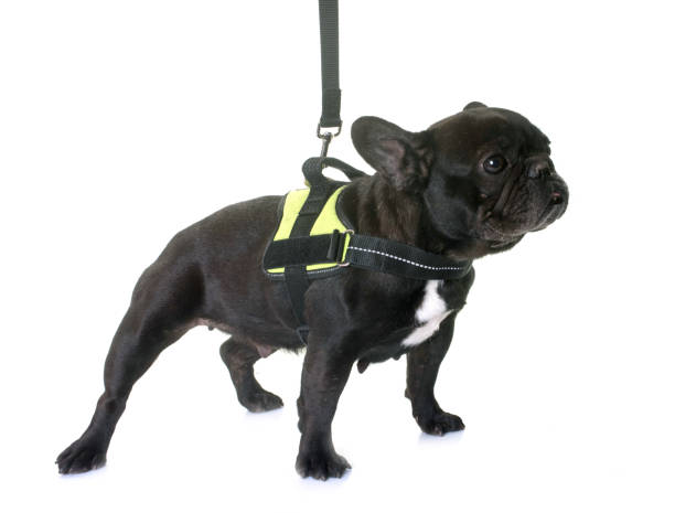 french bulldog and harness stock photo