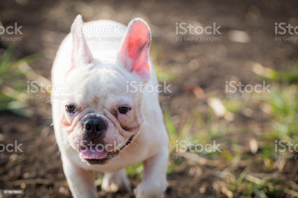 French bulldog animal royalty-free stock photo
