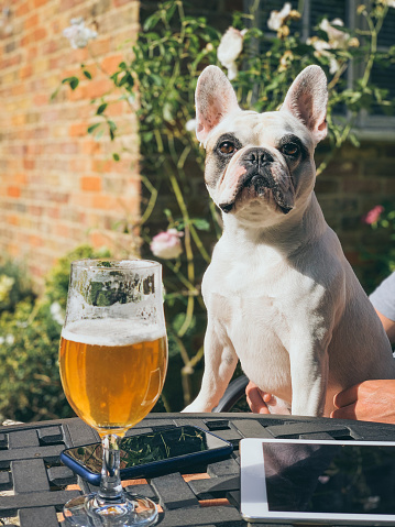 Man in the garden with a glass of beer and his Frenchie dog